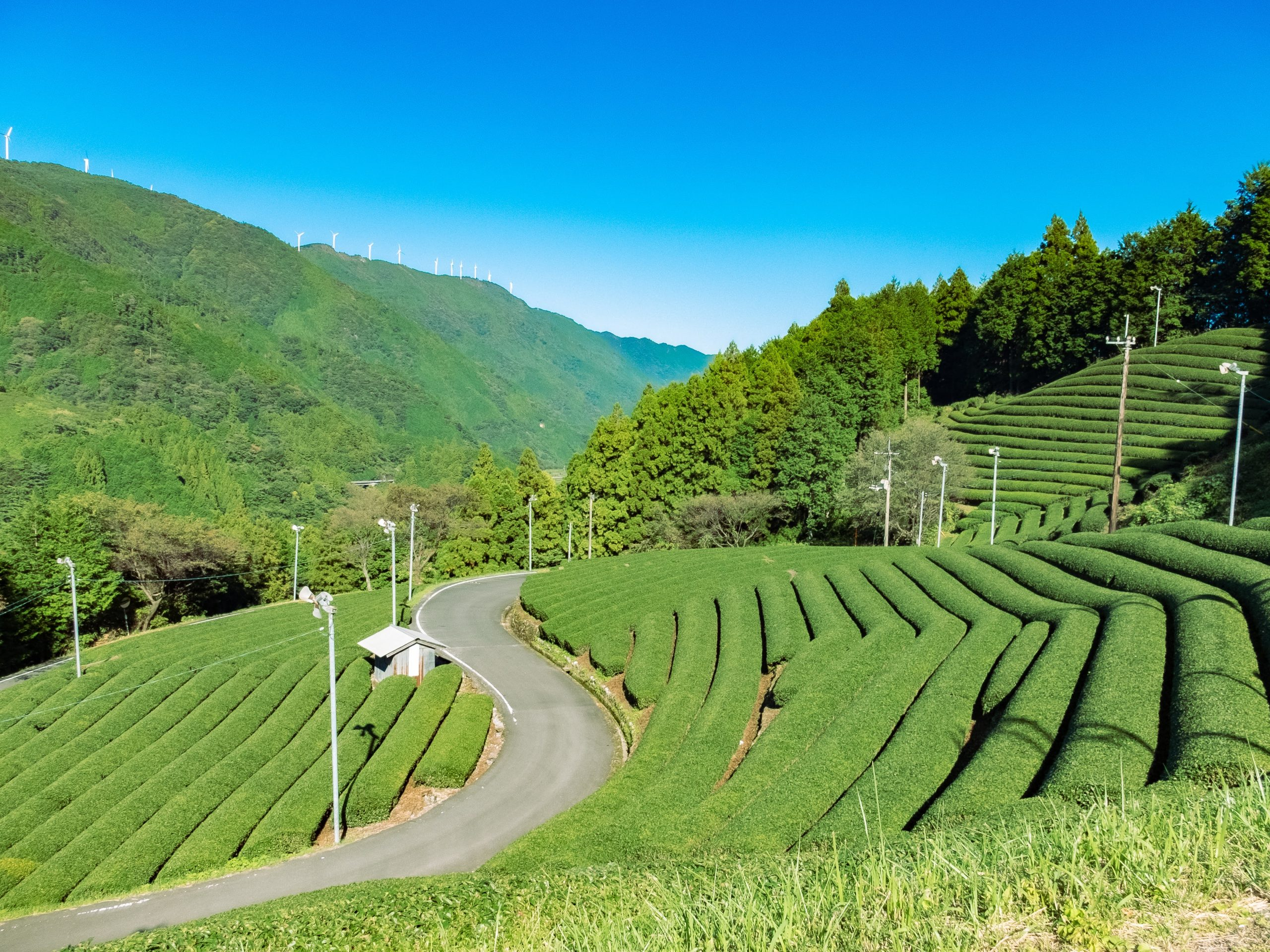 布施ヶ坂の茶畑