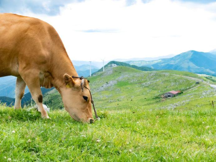 四国カルスト五段高原 牛